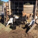 Superior Twin Oaks Dairy Goats